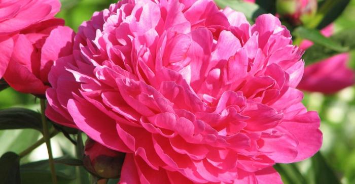 gartenpflanze pfingstrose pink blüte