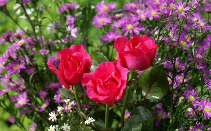 gartenpflanze pinke sorte herrlich