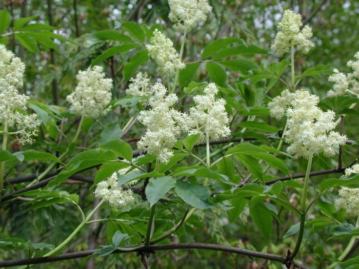 gartenpflanze schwarzer holunder weiße blüten