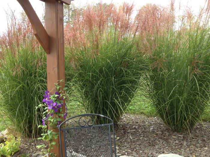 gräser im garten ornamtental sichtschutz