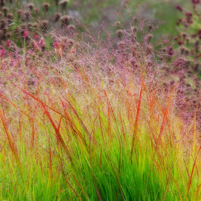 gräser im garten ornamtental zarte halme sanfte nuancen