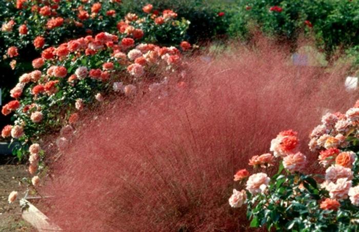 gräser im garten rosen zart