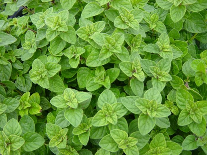 oregano ernten frischer oregano pflanzen blätter