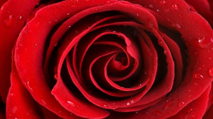 rote rosen wassertropfen nahaufnahme