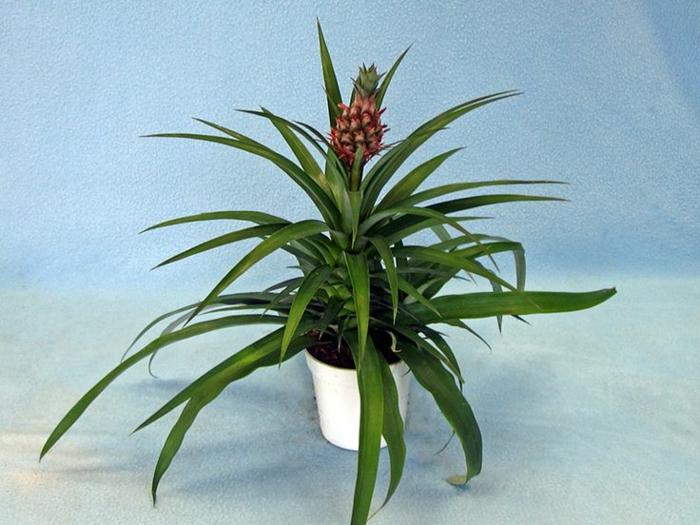 schöne dekoideen mini ananas pflanze