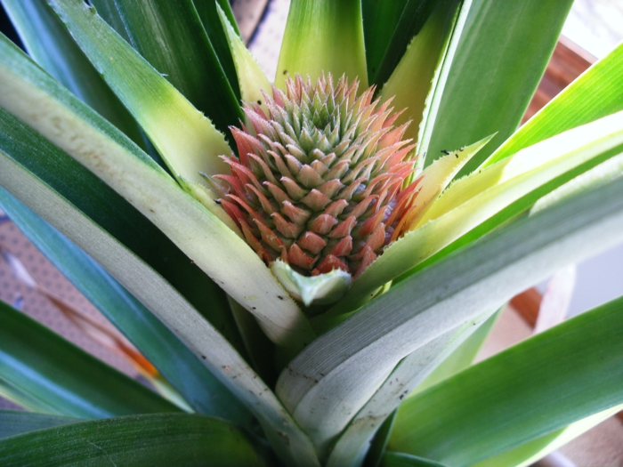 schöne dekoideen zimmerpflanzen ananas