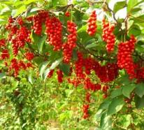 Schisandra Beeren – gesunde Exoten im Garten und auf dem Tisch