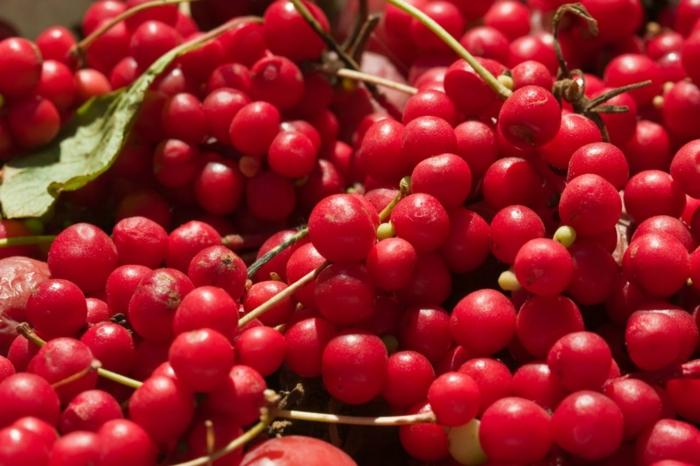 schisandra pflanze rote früchte kirschenähnlich