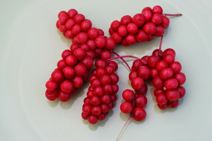 schisandra beeren rote trauben