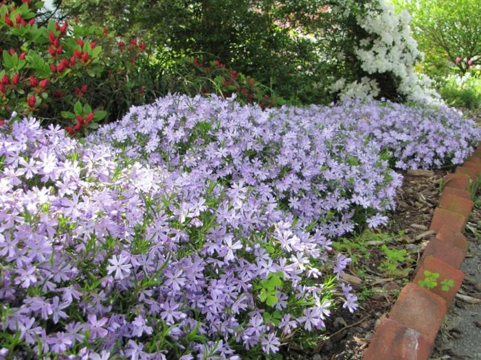 sommerblumen Polster Phlox lila winzige blüten