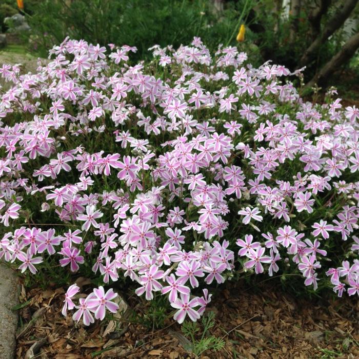 sommerblumen Polster Phlox rosa sanfte blüten