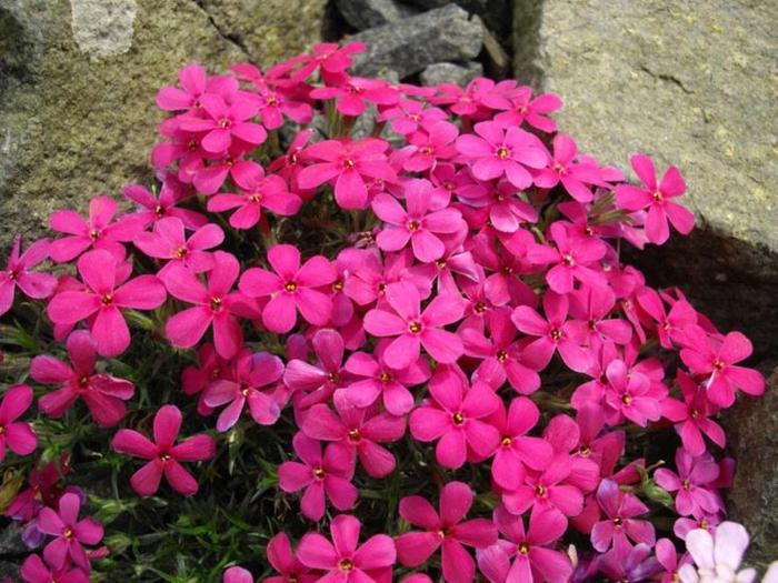 sommerblumen garten dekorieren pflanzen Phlox douglasii