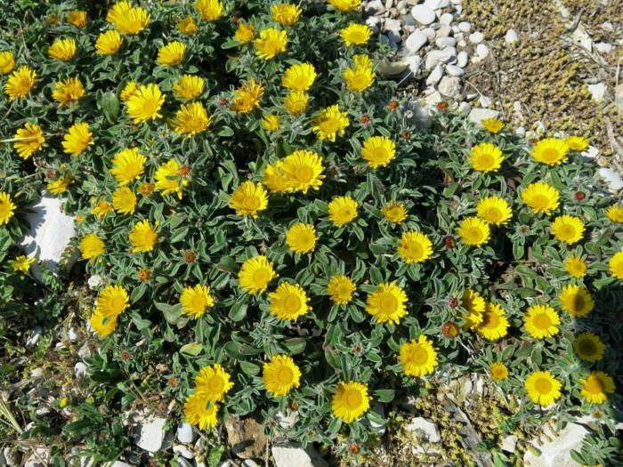 sommerblumen garten pflanzen küstenstrandstern