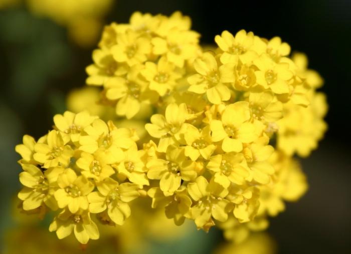 sommerblumen garten pflanzen steinkräuter gelbe blüten