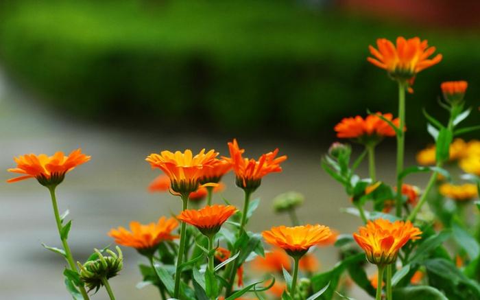 garten verschönern sommerblumen garten ringelblumen orange