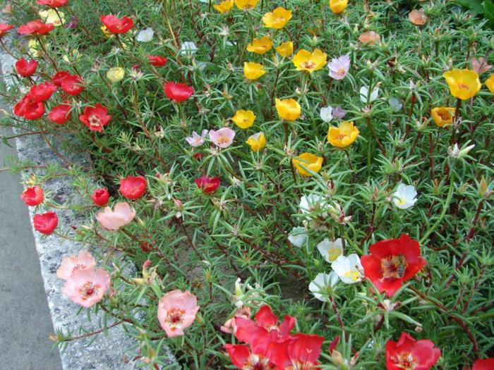 garten verschönern sommerblumen garten verschönern pflanzen portulak