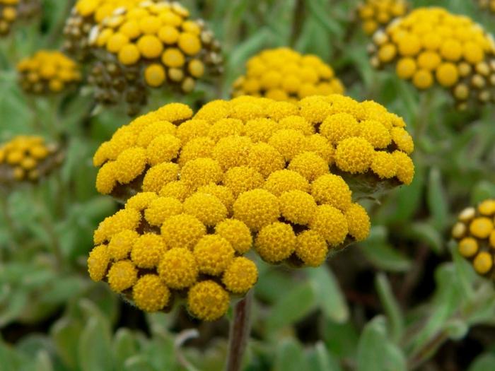 sommerblumen gelb strohblumen garten pflanzen