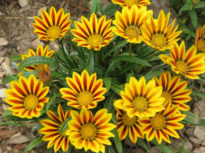 sommerblumen gelbe gazanien garten pflanzen