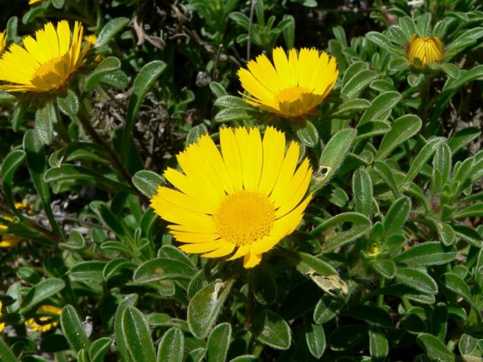 sommerblumen küstenstrandstern gelbe blüte garten gestalten