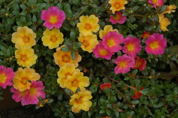 garten verschönern sommerblumen portulak rosa gelb garten pflanzen