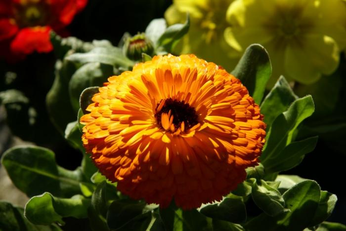 sommerblumen ringelblumen Callendula officinalis