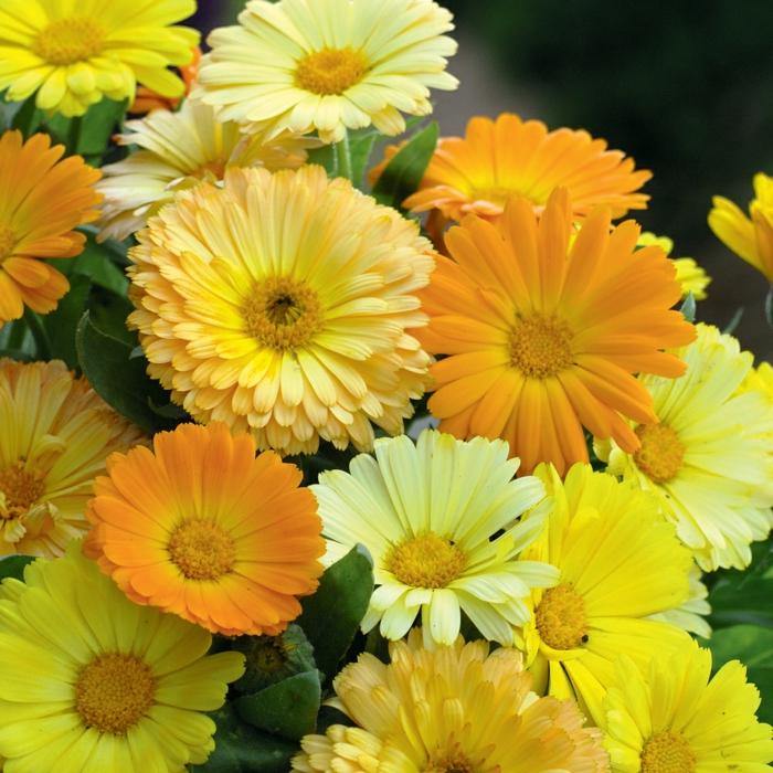 sommerblumen ringelblumen gelbnuancen garten gestalten