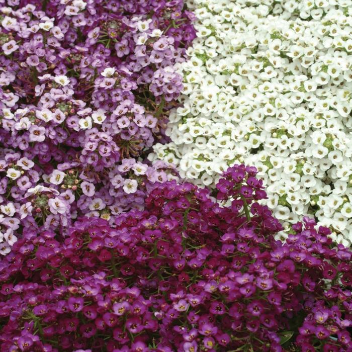 garten verschönern sommerblumen steinkräuter lila weiß garten pflanzen