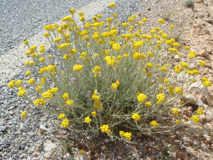 sommerblumen strohblumen garten gestalten