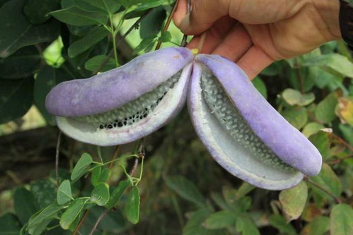 tropische früchte akebie blaugurkenrebe