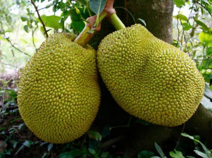 exotische früchte jackfrucht jakobsfrucht