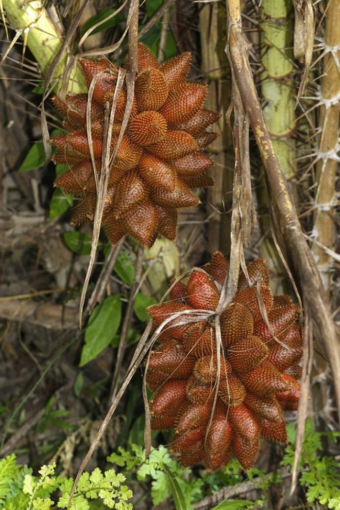 tropische früchte salakfrucht salakpalme