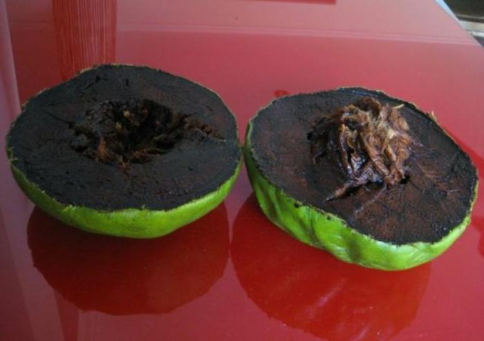 tropische früchte schwarze sapote schokoladenapfel baum