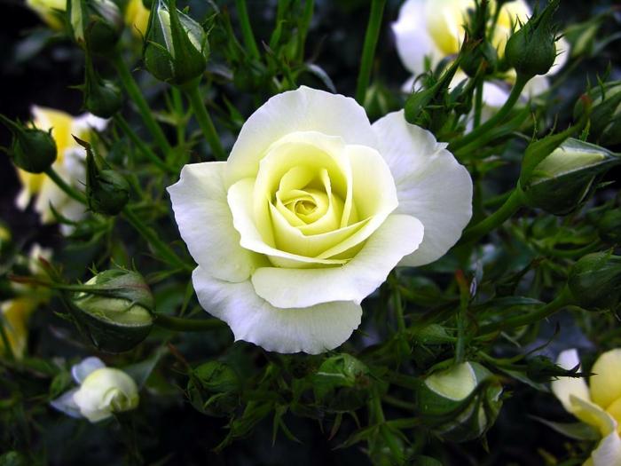 Die weiße Rose - ein Symbol der Unschuld und Reinheit