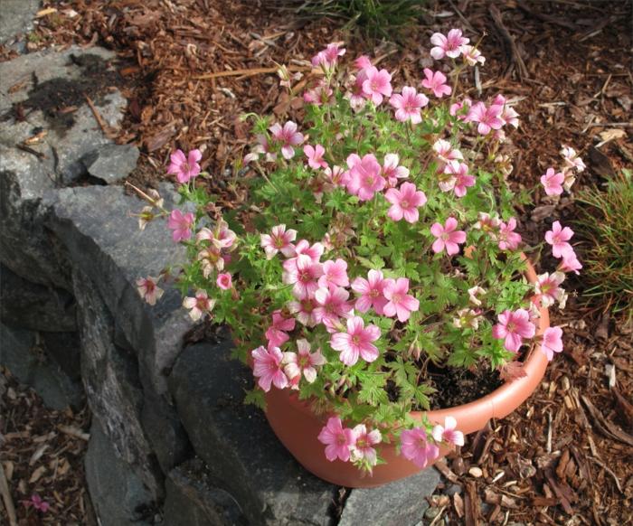 balkonpflanzen pelargoonien rosa schöne dekoidee steine