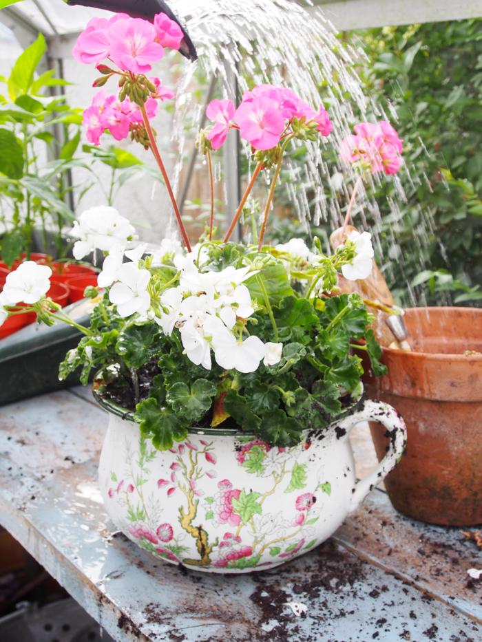 balkonpflanzen pelargonien cooler blumentopf schöne dekoideen