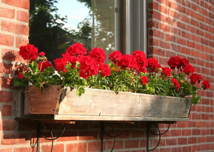 Die Geranien - Typische Balkonblumen mit Charme