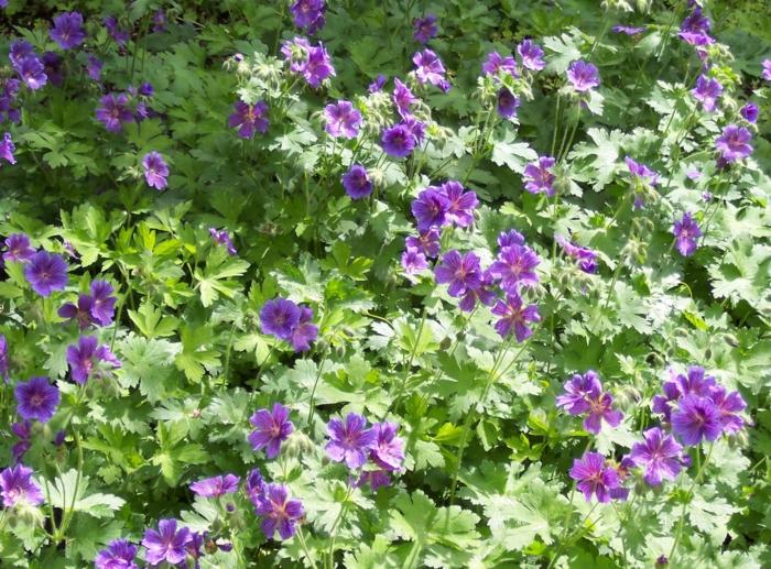 gartenpflanzen pelargonien lila garten gestalten dekoideen