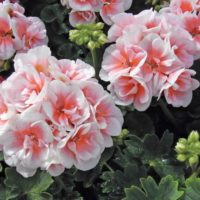 gartenpflanzen pelargonien weiß orange schöne gartendeko