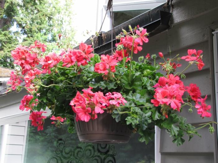 gartenpflanzen hängende pelargonien garten gestalten dekorieren