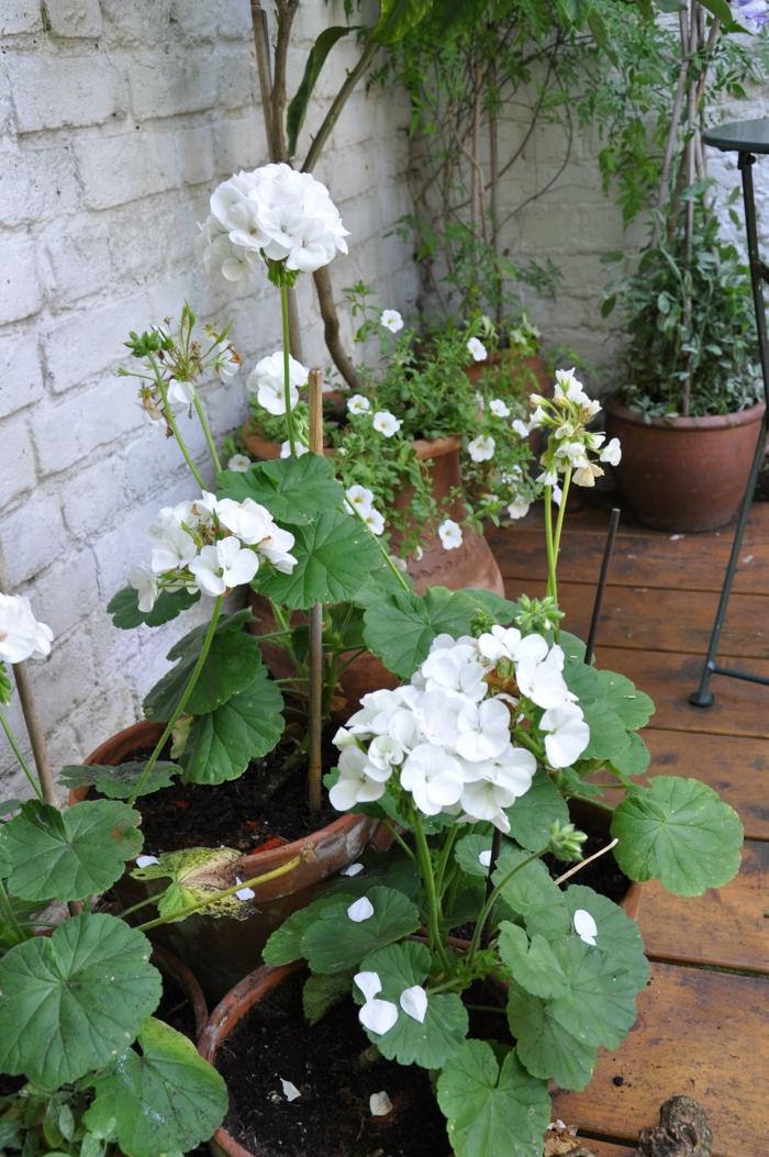 gartenpflanzen weiße pelargonien garten gestalten