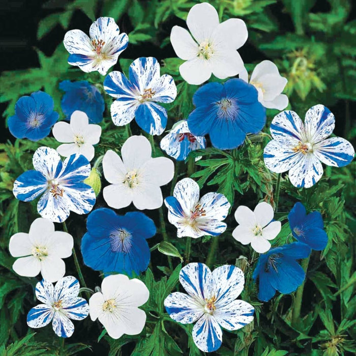 geranien ausgefallene blüten blau weiß