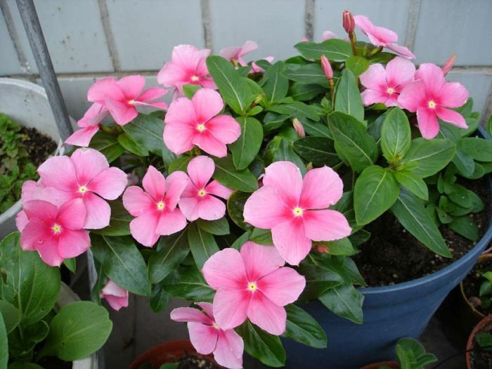 balkonpflanzen pelargonien balkonpflanzen beetpflanzen rosa blüten