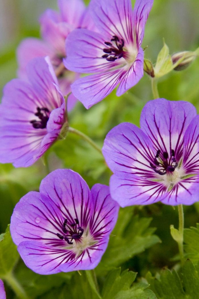 gartenpflanzen geranien lila blüten balkon verschönern