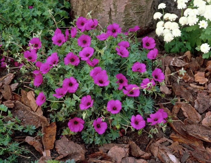 gartenpflanzen pelargonien lila garten gestalten