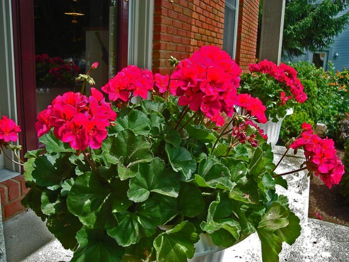 balkonpflanzen pelargonien rot schöne deko garten pflanzen
