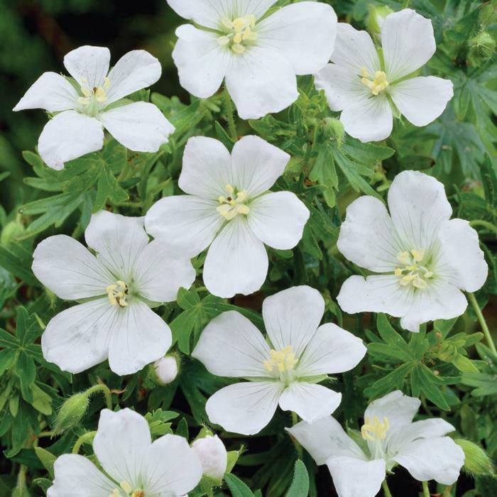gartenpflanzen garten verschönern weiße geranien