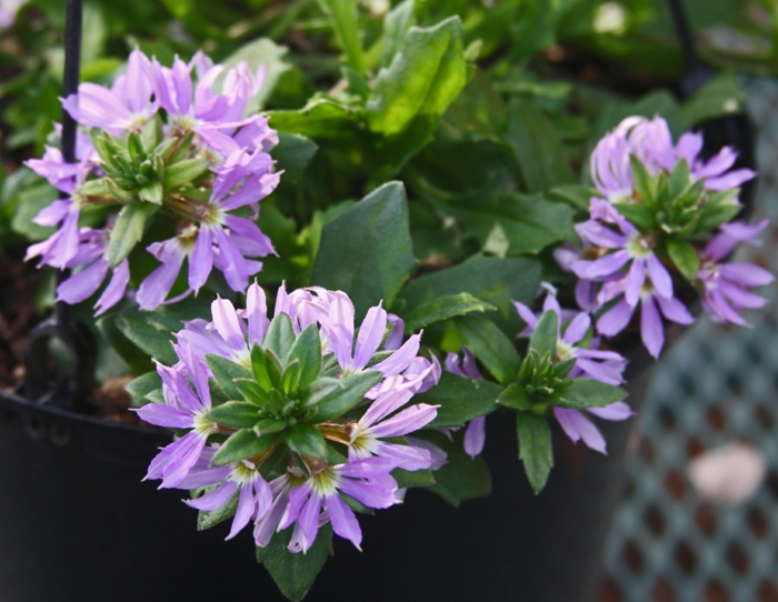 hängepflanzen balkon blaue fächerblume Scaevola aemul
