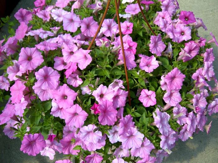 hängepflanzen balkon lila petunien