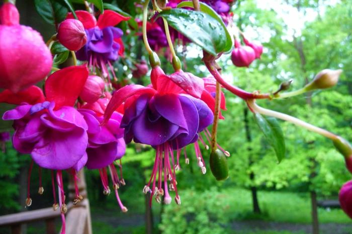 hängepflanzen balkon rosa fuchsien balkonpflanzen
