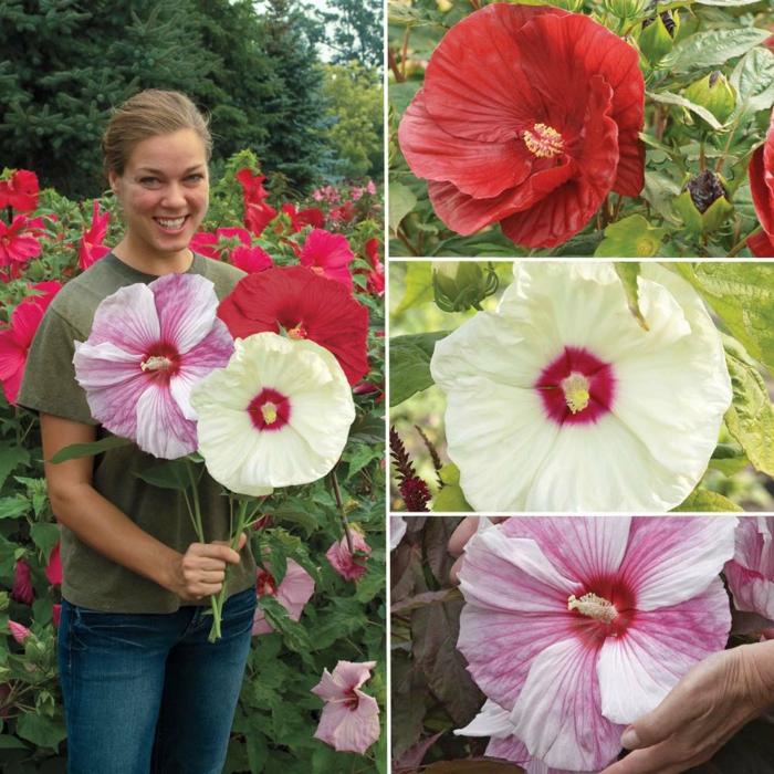 hibiskus bunte große blüten